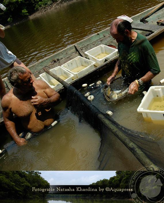 Discus Wild Amazonas