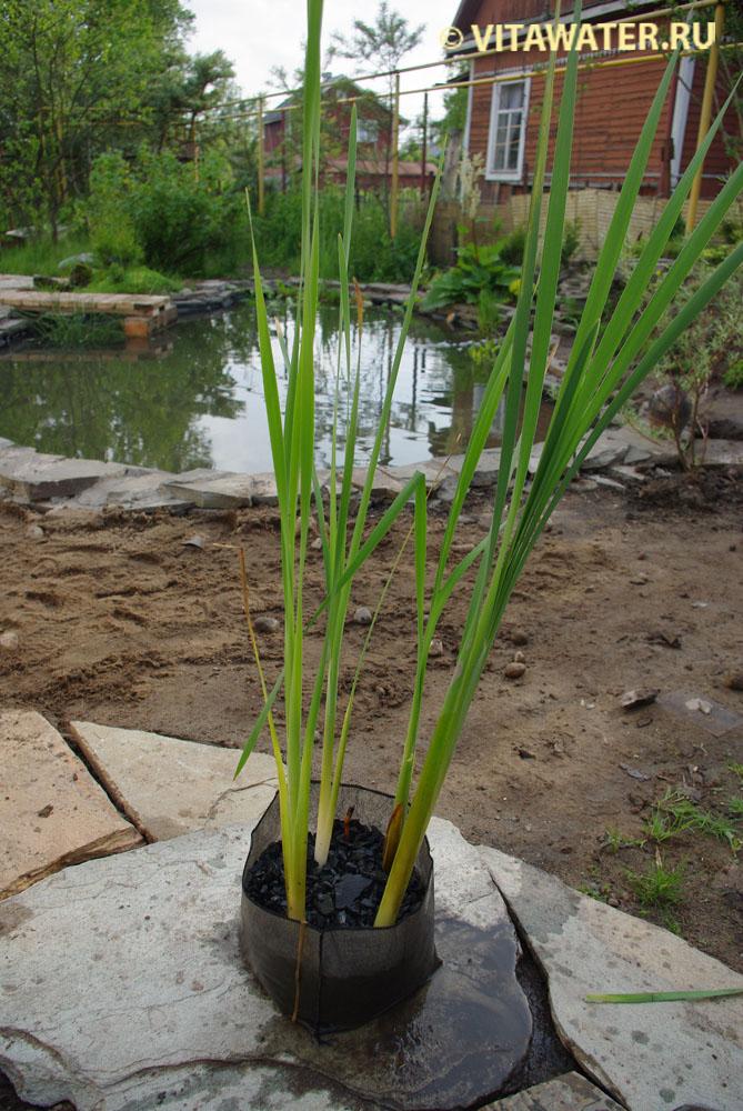 Посадка прибрежно-водных растений в пруд