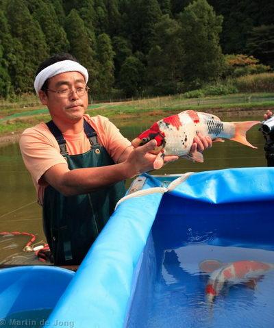 Японский фермер держит в руках карпа кои (порода Шова) во время осеннего облова - икеагэ