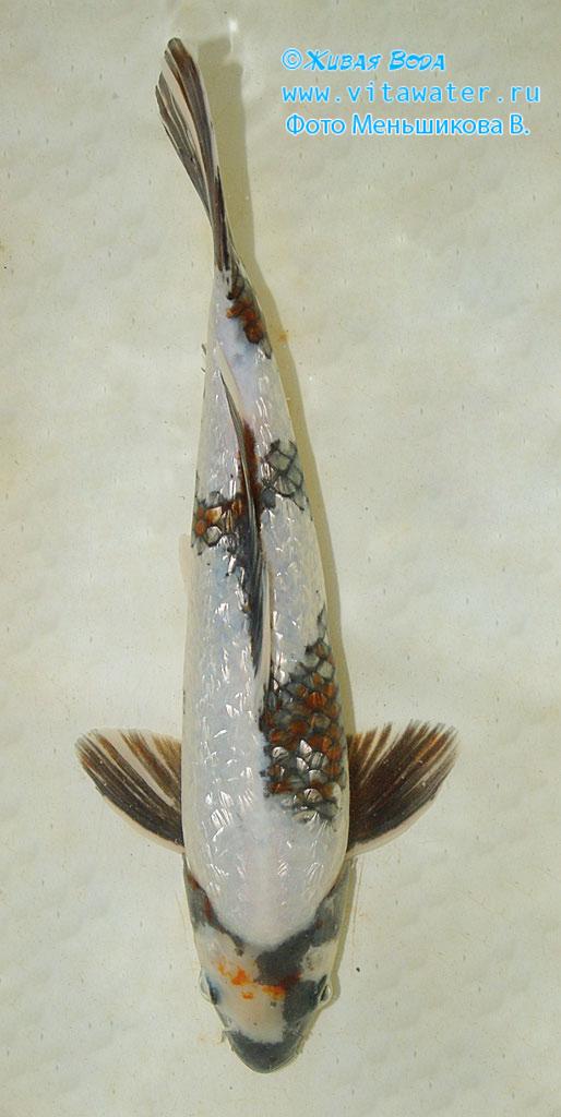 Отличие рыбы на фото от классического коллекционного образца, в том, что его черный становится красным (не типичная окраска для рыбы класса Utsurimono)