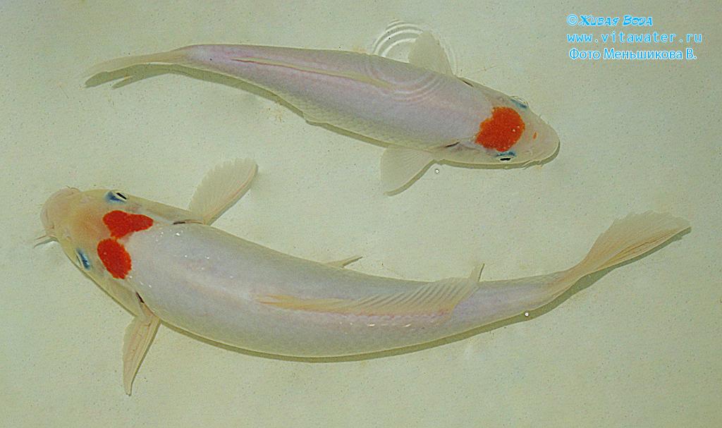 Кои породы Tancho Kohaku с пятном в виде бабочки на голове