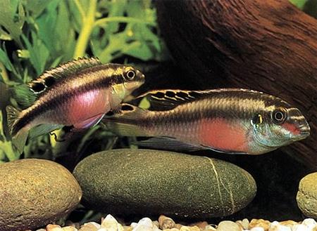 Попугай (Pelvicachromis pulcher, Pelvicachromis kribensis)