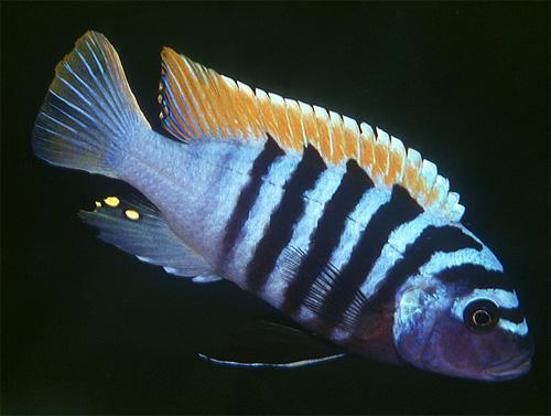 Псевдотрофеус зебра (Pseudotropheus zebra)
