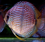 Blue Faced Heckel Discus
