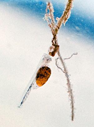 Личинка Pterophyllum scalare на четвертый день