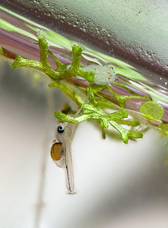 Малек 12 дней. Pterophyllum scalare